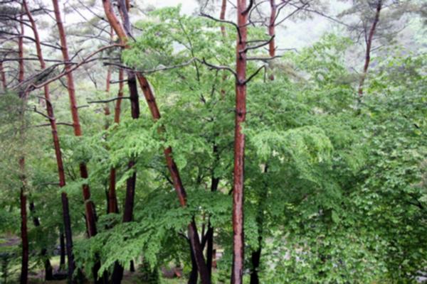 부여 만수산 자연휴양림 환상의 소나무숲 1