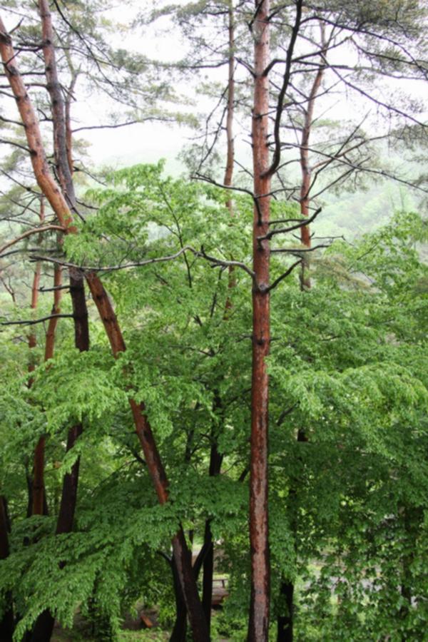 부여 만수산 자연휴양림 환상의 소나무숲 2