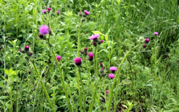 서산 보원사지 냇가에 핀 엉겅퀴 꽃 1