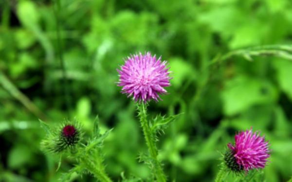 서산 보원사지 냇가에 핀 엉겅퀴 꽃 3