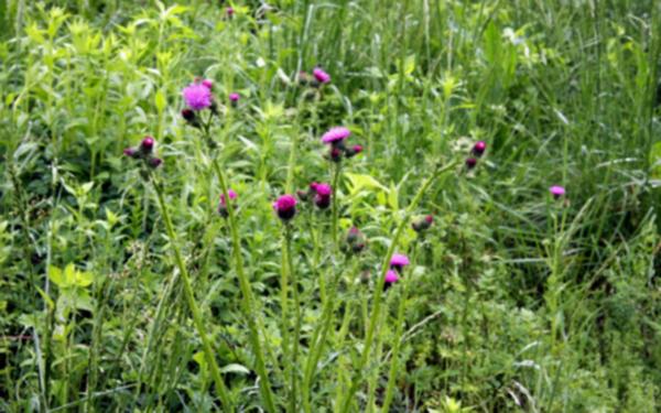 서산 보원사지 냇가에 핀 엉겅퀴 꽃 2